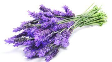 Lavendelstrauch lavandula angustifolia organic